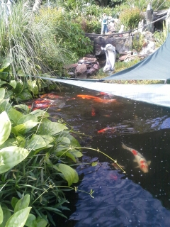 Natures pond conditioner -- koi pond